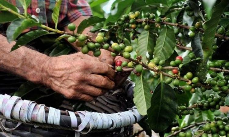 Inteligencia artificial a disposición de los caficultores mexicanos